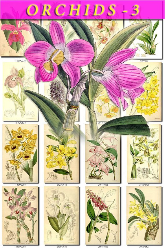 ORCHIDS-3 flowers 220 vintage print