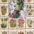 ORCHIDS-10 flowers 61 vintage print