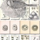BIRDS EGGS-6-bw 242 black-, -white nests heads vintage print