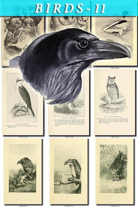 BIRDS-11-bw 219 black-, -white vintage print