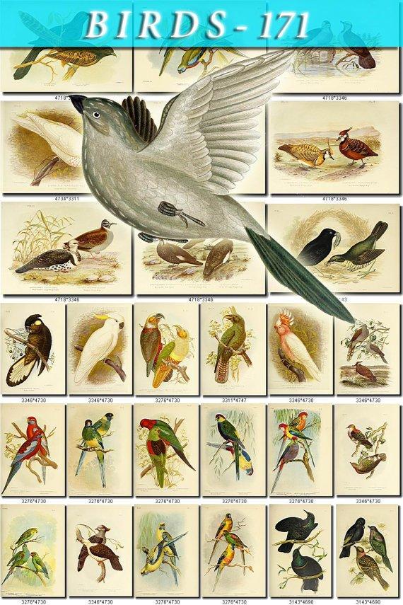 BIRDS-171 96 vintage print