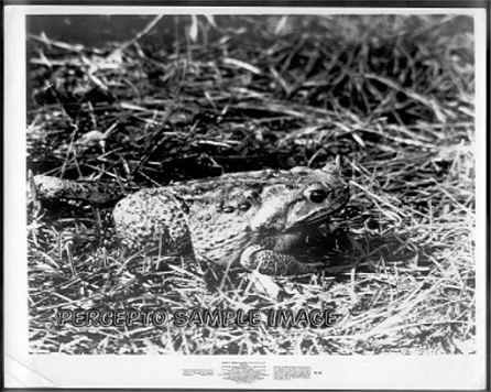 FROGS ~ '72 Orig AIP HORROR Movie Photo ~ Close-Up  FROG