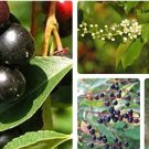 HEIRLOOM NON GMO Wild Black Cherry Tree 50 seeds (Medicinal, Edible)
