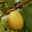 Florida Pear Guava 10 seeds