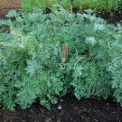 HEIRLOOM NON GMO Wormwood 100 seeds