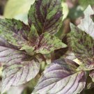 HEIRLOOM NON GMO Ararat Speckled Basil 100 seeds