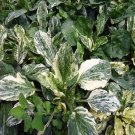 """MEDICINAL"""" Variegated Plantain 10 seeds"