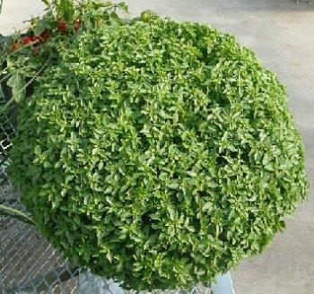 HEIRLOOM NON GMO Aristotle Bush Basil 100 seeds