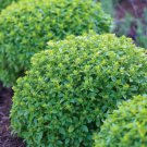 HEIRLOOM NON GMO Boxwood Basil 100 seeds