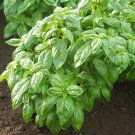HEIRLOOM NON GMO Ceaser Basil 100 seeds