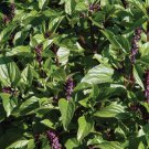 HEIRLOOM NON GMO Cardinal Basil 100 seeds
