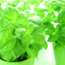 HEIRLOOM NON GMO Dolly Basil 100 seeds