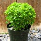 HEIRLOOM NON GMO Dwarf Fine Bush Basil 100 seeds