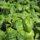 HEIRLOOM NON GMO Envigor Basil 100 seeds