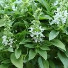 HEIRLOOM NON GMO  White Spires Basil 100 seeds