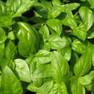 HEIRLOOM NON GMO Italiano Classico Basil 100 seeds