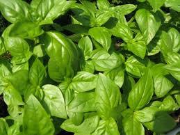HEIRLOOM NON GMO Italiano Classico Basil 100 seeds