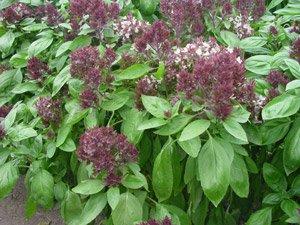 HEIRLOOM NON GMO Oriental Breeze Basil 100 seeds