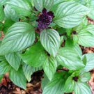 HEIRLOOM NON GMO Persian Zing Basil 100 seeds