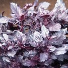 HEIRLOOM NON GMO Red Osmin Basil 100 seeds