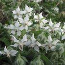 HEIRLOOM NON GMO White Flowering Borage 100 seeds