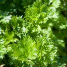 HEIRLOOM NON GMO Par Cel Cutting Celery 100 seeds
