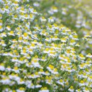 HEIRLOOM NON GMO Roman Chamomile100 seeds
