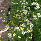 HEIRLOOM NON GMO German Chamomile 100 seeds