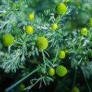 HEIRLOOM NON GMO Wild Chamomile 100 seeds