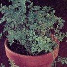 HEIRLOOM NON GMO Plain Leaf Chervil 50 seeds