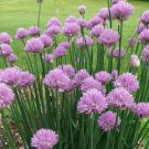 HEIRLOOM NON GMO Chives 100 seeds
