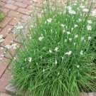 HEIRLOOM NON GMO Garlic Chives 100 seeds
