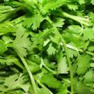 HEIRLOOM NON GMO Leaf Cilantro 100 seeds