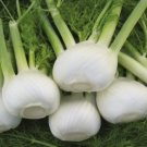 HEIRLOOM NON GMO Florence Fennel 100 seeds