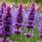 HEIRLOOM NON GMO Lavender Blue Hyssop 200 seeds