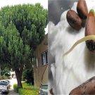 HEIRLOOM NON GMO Italian Stone Pine 10 seeds