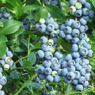 HEIRLOOM NON GMO Lowbush Blueberry 50 seeds
