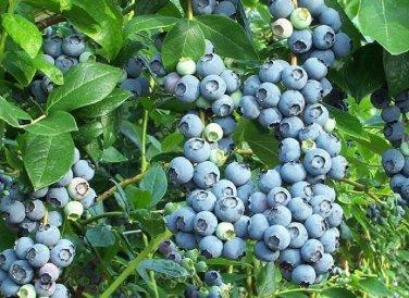 HEIRLOOM NON GMO Lowbush Blueberry 50 seeds