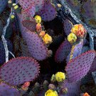 HEIRLOOM NON GMO Giant Prickly Pear 30 seeds