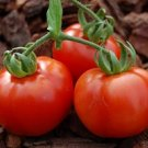 HEIRLOOM NON GMO Placero Tomato Tomato 25 seeds