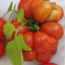 HEIRLOOM NON GMOReisetomate Tomato 25 seeds