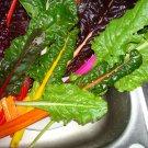 HEIRLOOM NON GMO Northern Lights Rainbow Chard Mix 100 seeds