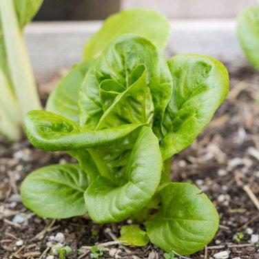 HEIRLOOM NON GMO Little Gem Romaine Lettuce (Dwarf, Container) 200 Seeds