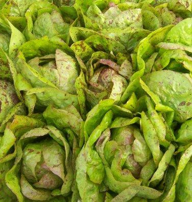 HEIRLOOM NON GMO Forellenschluss Speckled Lettuce 20 Seeds