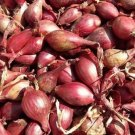 HEIRLOOM NON GMO Red Apache Shallots 100 seeds