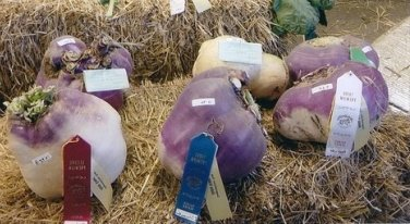 HEIRLOOM NON GMO Giant Red Trentino Cabbage Turnip 50 seeds