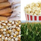 HEIRLOOM NON GMO South American Yellow Popcorn/Popping Corn 50 seeds