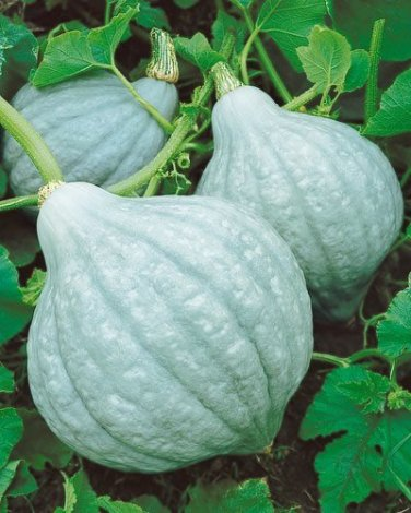 HEIRLOOM NON GMO Blue Hubbard Winter Squash 15 seeds