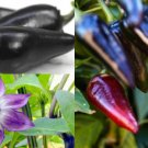 HEIRLOOM NON GMO Black Hungarian Pepper 25 seeds