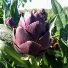 HEIRLOOM NON GMO Violet de Provence Artichoke 25 seeds
